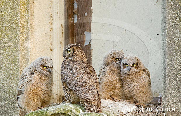 Photo of a great horned owl and its owlets.