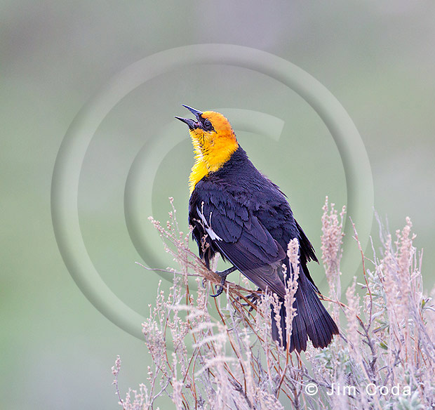 Photo of a male yellow-headed blackbird singing for a mate.