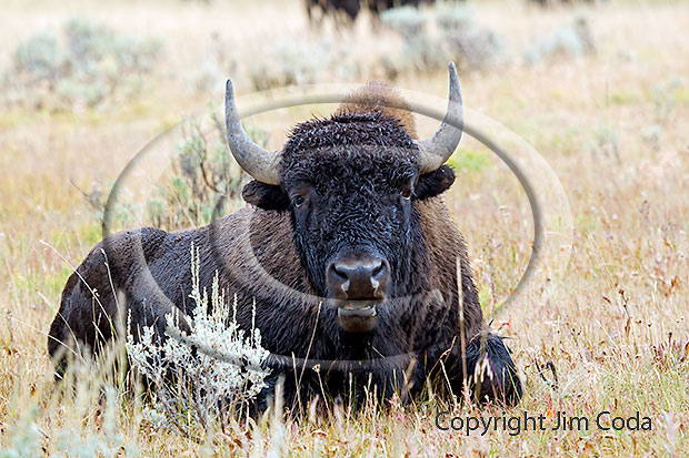 Photo of bull bison.