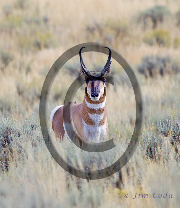 A photo of a pronghorn facing the camera.
