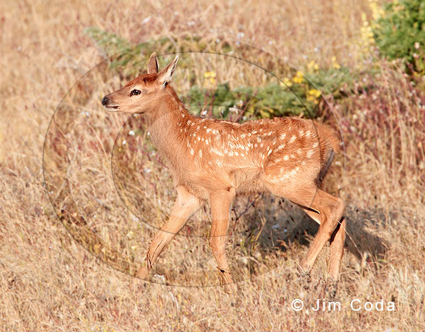 Photo of tule elk calf.