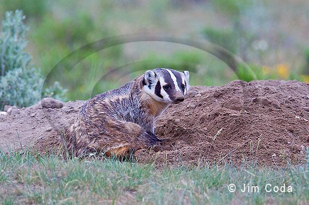 A mother badger at her den.