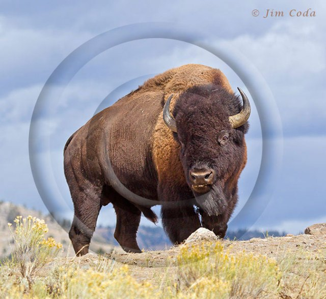 Photo of bull bison standing on trail.