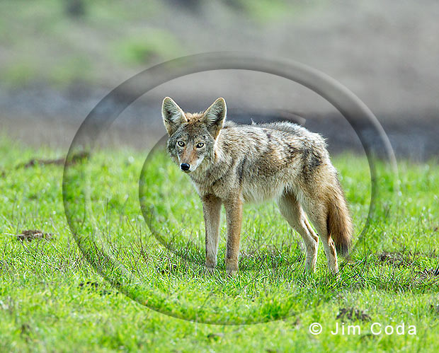 Photo of a coyote.