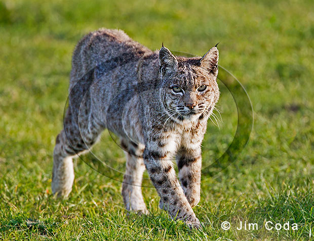 Photo of a bobcat loping across a meadow.