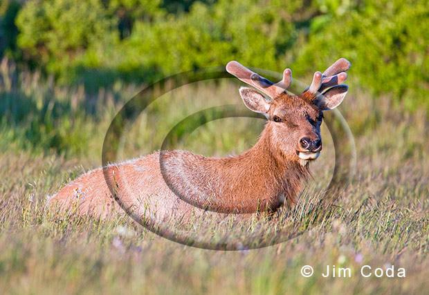 hPoto of bull tule elk in velvet