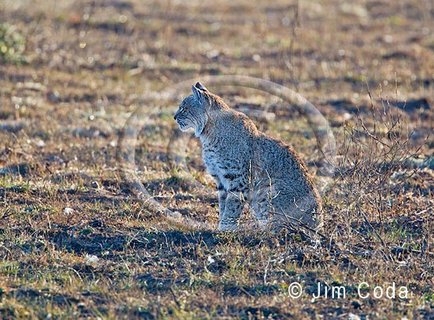 Photo of a bobcat.