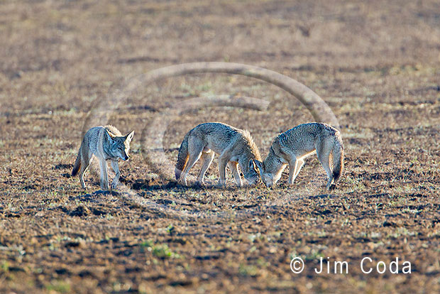 Photo of three coyotes feeding.