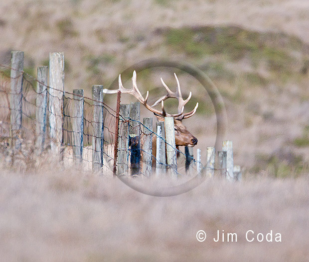 Photo of bull elk abut to jump a fence.