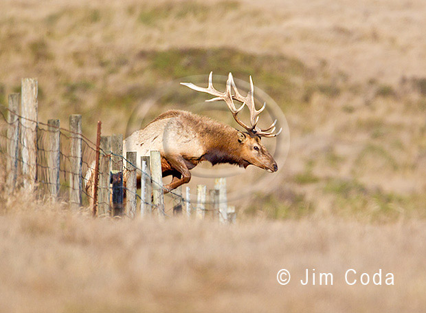 A bull elk jumps over a fence.