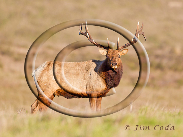 Photo of big bull tule elk.