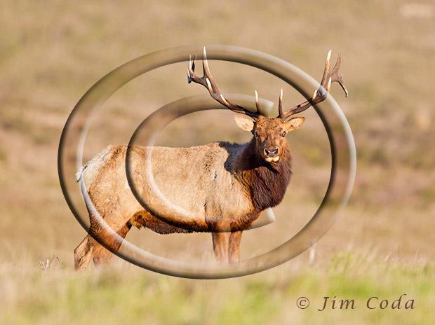 Photo of big bull tule elk.