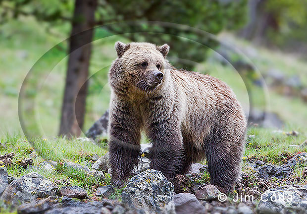 Photo of a young grizzly bear.