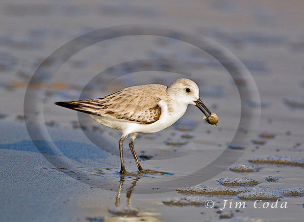 Photo of a sanderling.