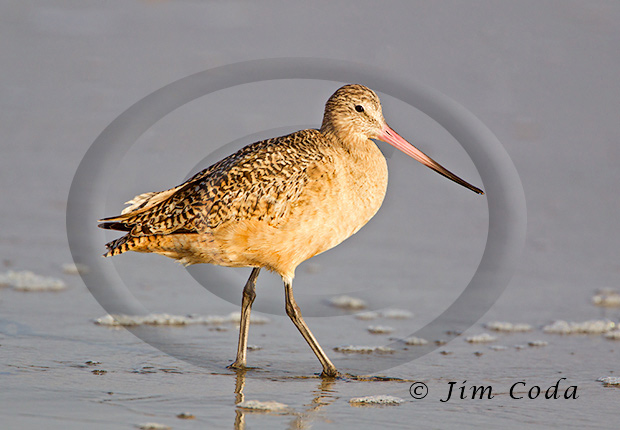 Photo of a marbled godwit hunting at Drakes Beach.