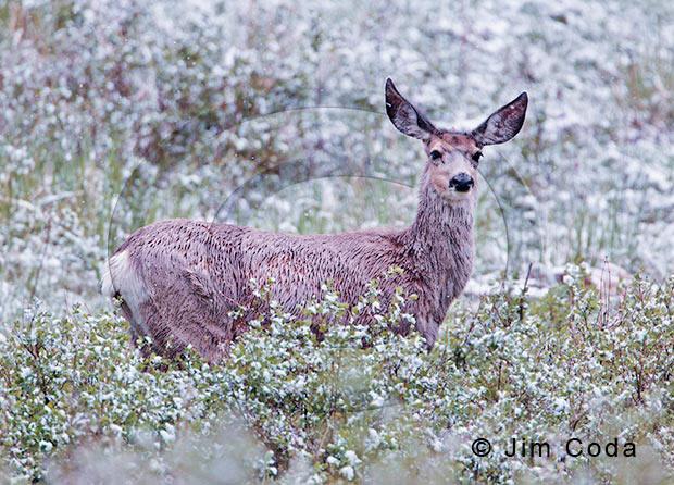 Photo of mule deer doe in snow.