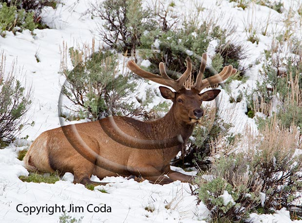 Photo of a bull elk in new snow on Memorial Day.