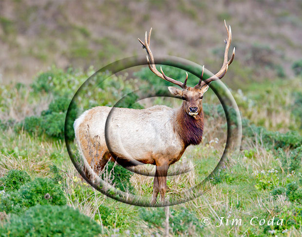 Photo of big tule elk bull.