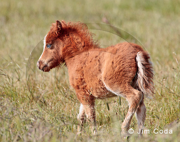 Photo of a Miniature horse colt.