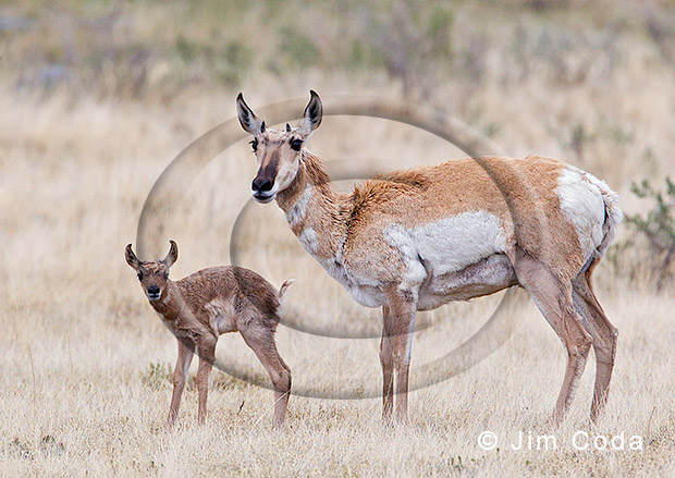 Photo of pronghorn mom and her young fawn.