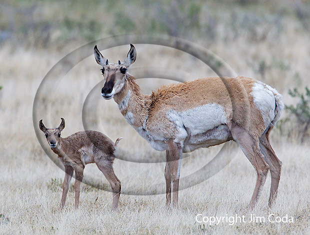 Photo of a pronghorn doe and fawn.