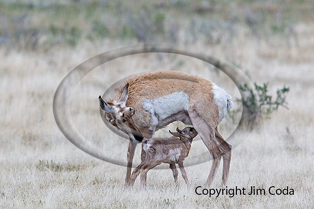 Photo of pronghorn doe nursing fawn.