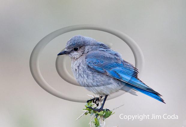 Photo of female mountain bluebird.