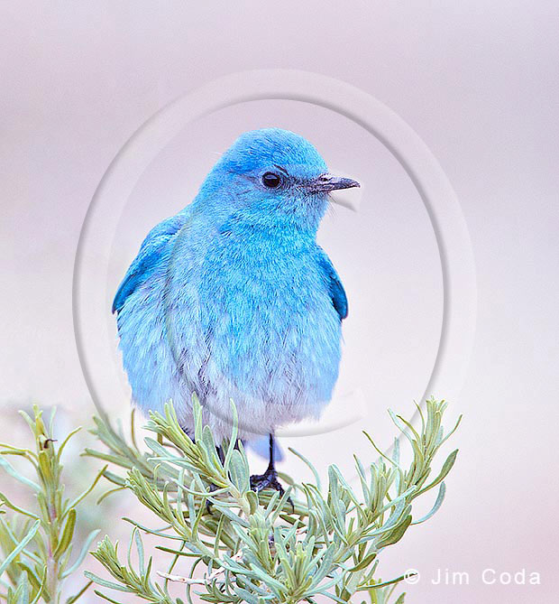 Photo of a mountain bluebird on a sage plant.