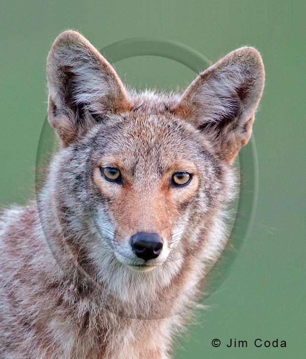 Photo of a coyote staring at the camera.
