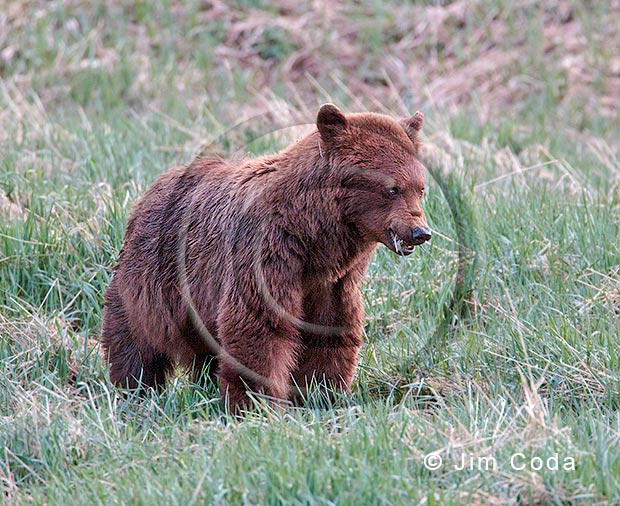Photo of large cinnamon black bear.