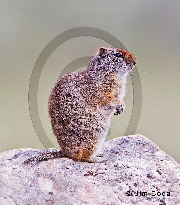 Photo of a Uinta ground squirrel.