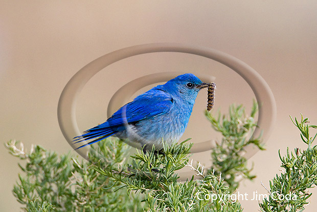 Photo of mountain bluebird.