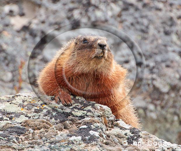 Photo of a Marmot.
