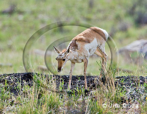 Photo of pronghorn doe with would on top of her neck.