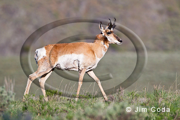 Photo of pronghorn.