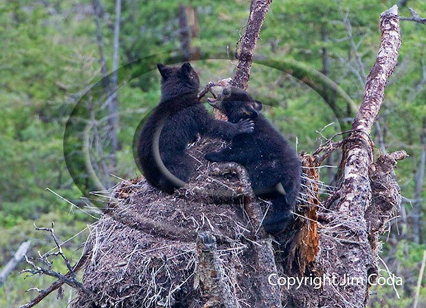 Photo of two black bear spring cubs.