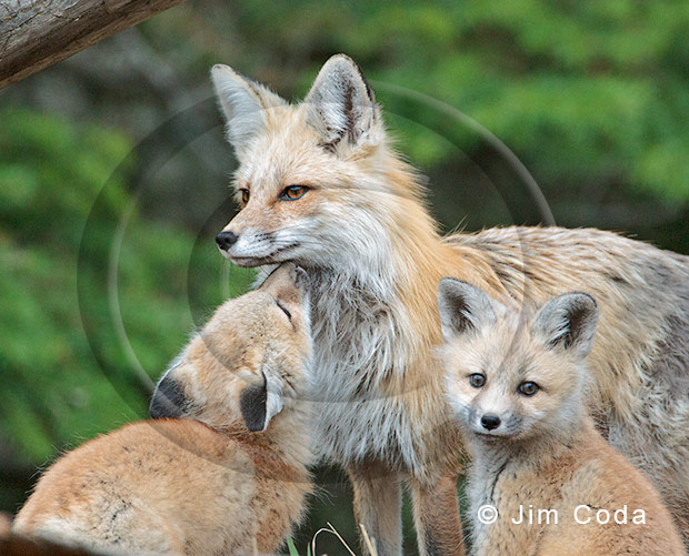 Photo of a female red fox with her kits.