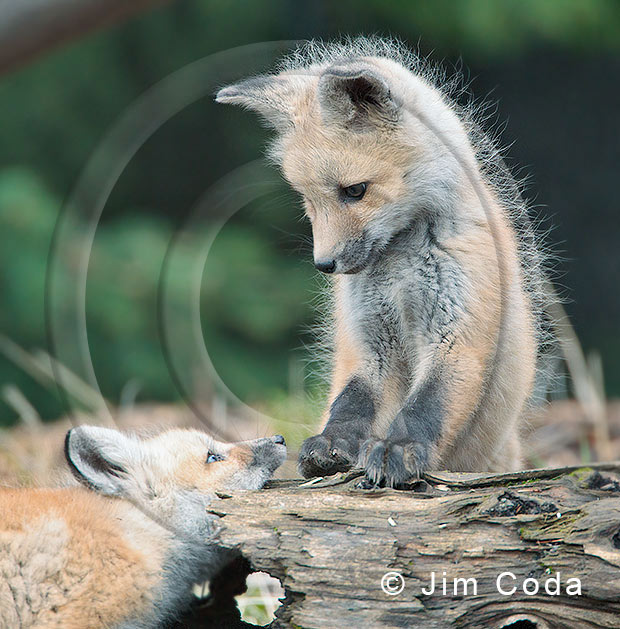 Photo of red fox kits at play.