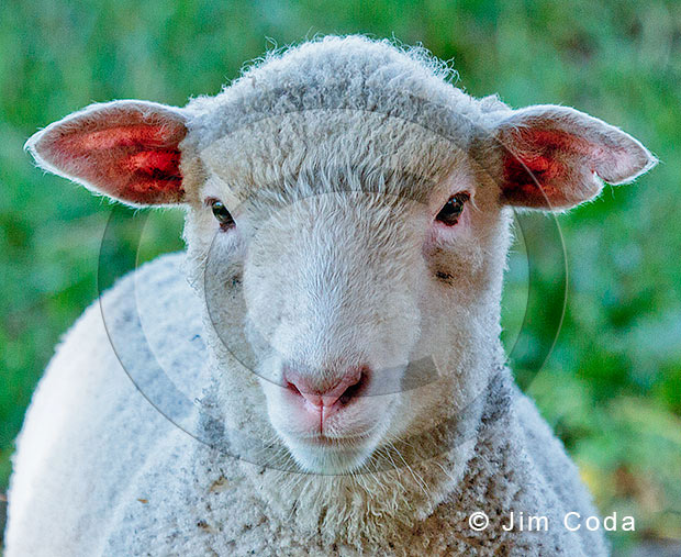 Photo of a lamb.