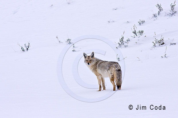 Photo of a coyote in snow.