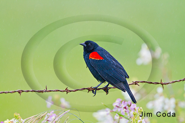 Photo of red-winged blackbird perched on a barbed-wire fence.