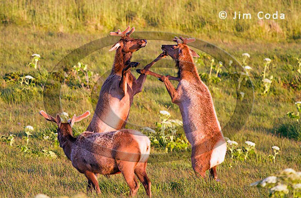 Photo of two tule elk bulls fighting with their hooves.