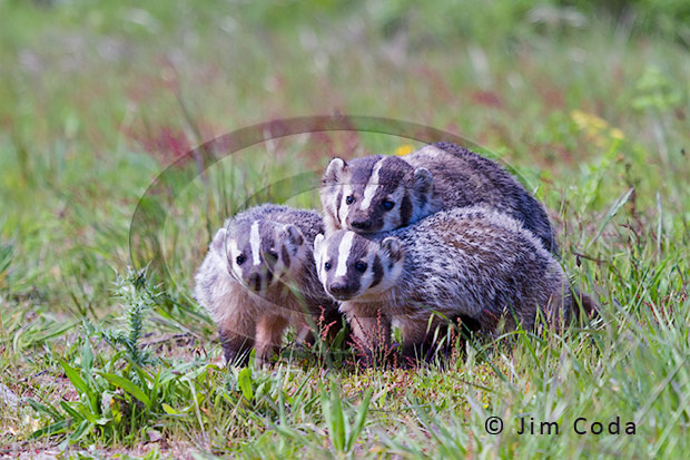 Photo of a badger sow and her two kits.