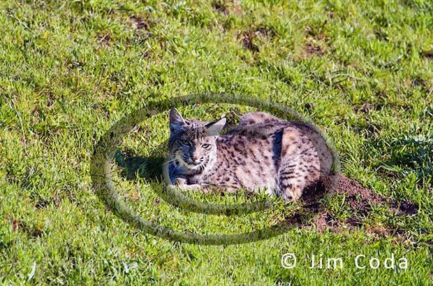Photo of a bobcat resting.