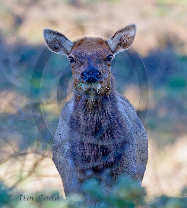 Photo of cow tule elk.