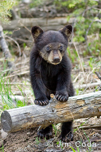 Photo of a spring cub leaning on a log.