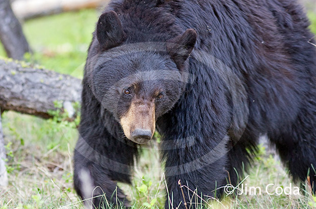 Photo of mother black bear.