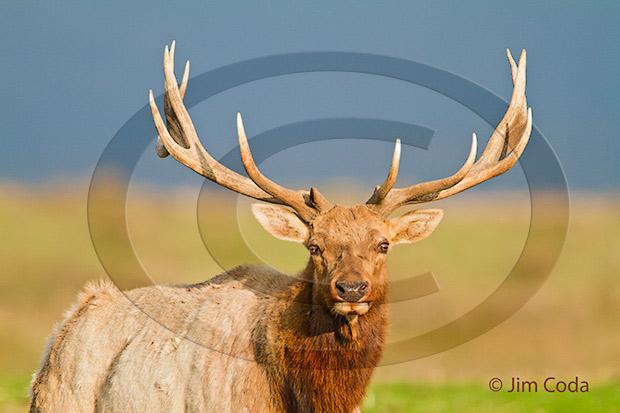 Photo of bull elk.