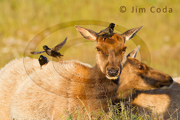 Photo of starlings grooming a cow elk.
