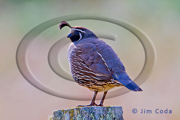Photo of a male california quail.